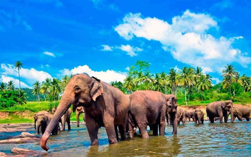 Nagy fasz elefántcső